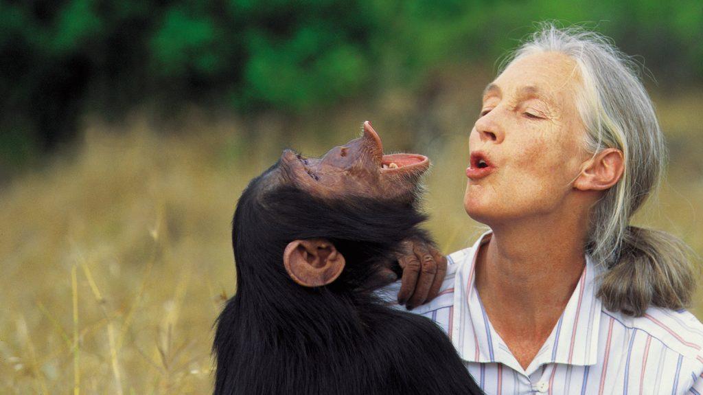 Goodall w chimp